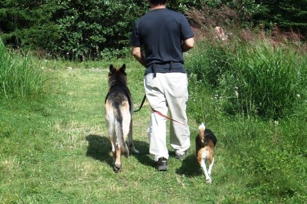サンメドウズ散策路を歩くシェパードとミックス犬の後ろ姿