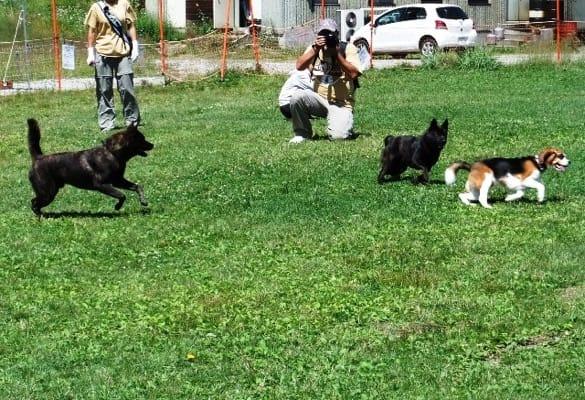 サンメドウズドッグランを走る甲斐犬2頭とミックス犬