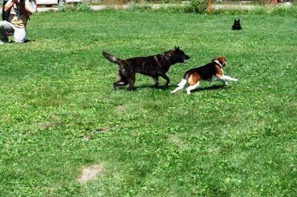 サンメドウズドッグランで追いかけっこする甲斐犬とミックス犬