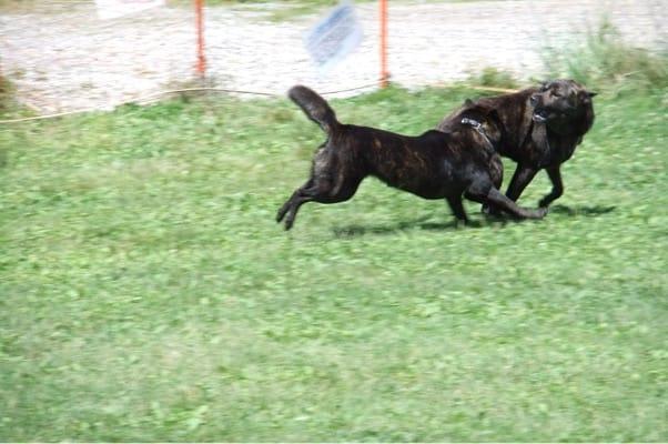 サンメドウズドッグランで走り回る甲斐犬2頭
