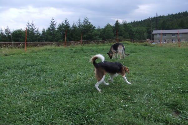 サンメドウズドッグランを歩くシェパードとミックス犬