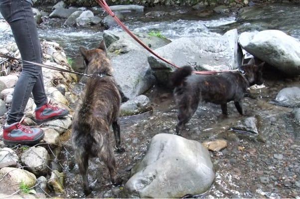 吐竜の滝に向かう甲斐犬2頭