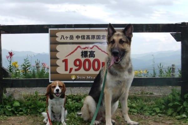 シェパードとミックス犬、サンメドウズにて