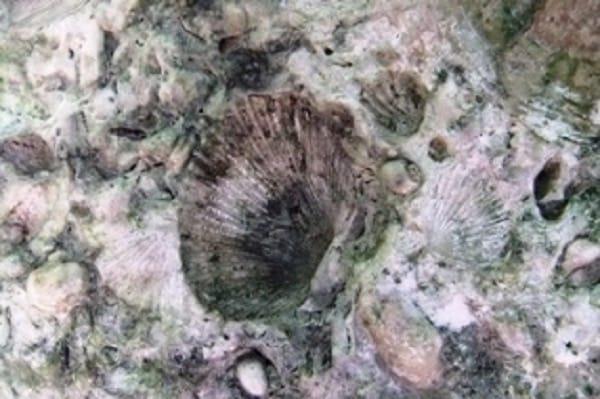 蓬莱橋貝の化石