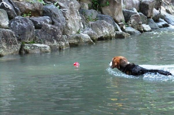 親水公園で泳ぐ愛犬