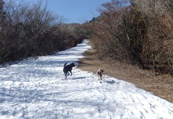 金冠山登山道に積もった雪上を歩く犬たちの後ろ姿
