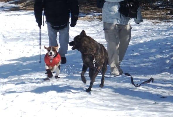金冠山登山道に積もった雪上を歩く犬たち