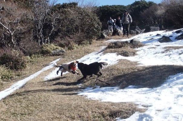雪が残る金冠山登山道を走り回る犬たち