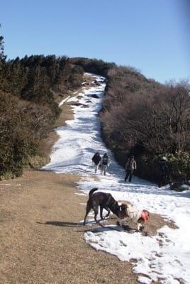 雪が残る金冠山登山道を歩く犬たち