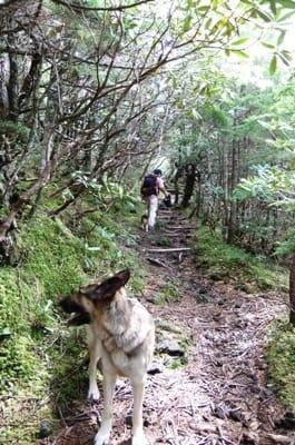 富士山登山道を歩くシェパード