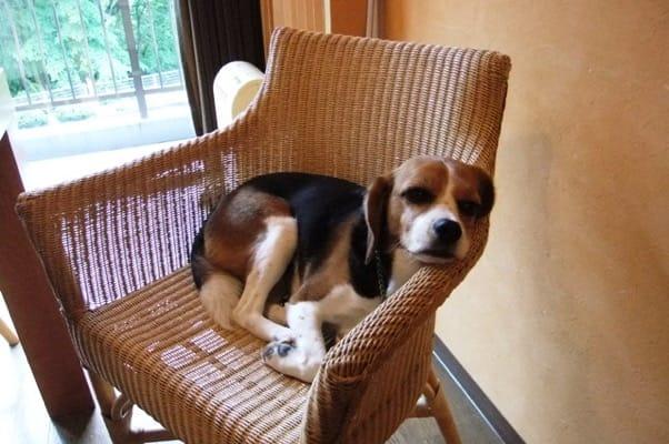 ホテルの部屋のチェアの上で寝るミックス犬