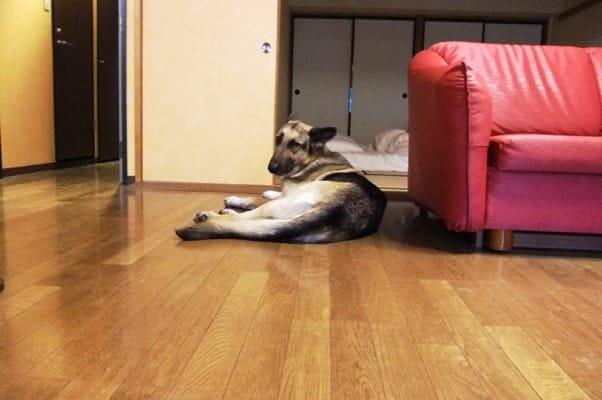 ホテルの部屋のフローリングに寝そべるシェパード