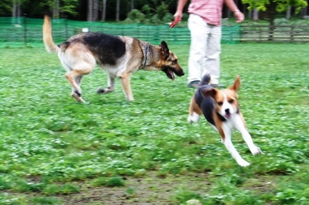 山中湖woofドッグランではしゃぐシェパードとミックス犬