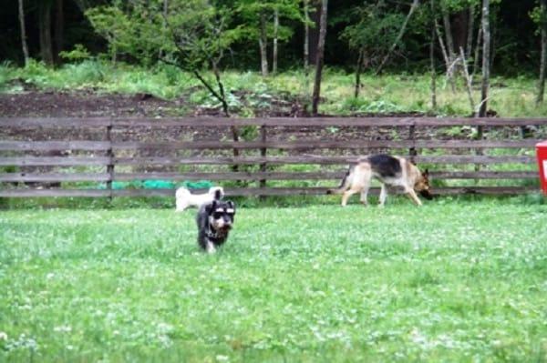山中湖woofドッグランを歩く犬たち