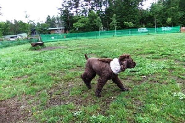 山中湖woofドッグランを歩く犬