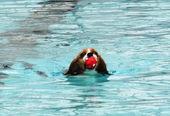 山中湖woofプールで泳ぐ愛犬