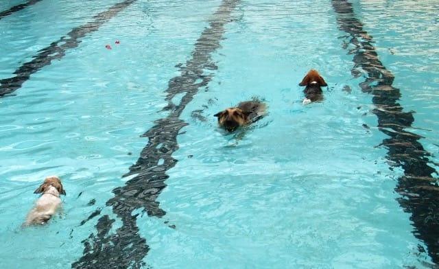 山中湖woofプールで泳ぐ愛犬達