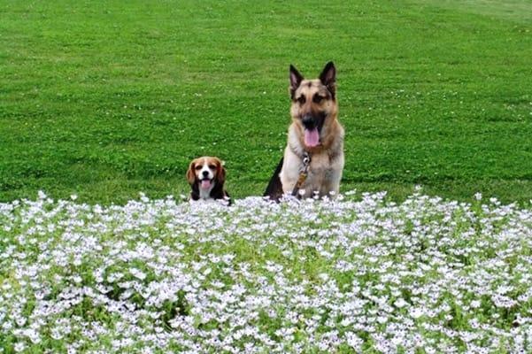 山中湖花の都公園で並んで座るシェパードとミックス犬
