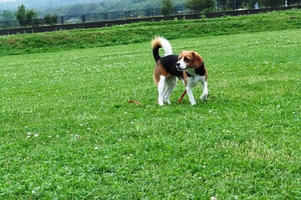 山中湖花の都公園を歩くミックス犬