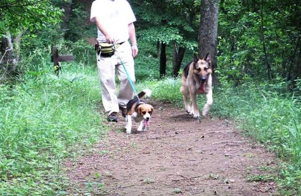 中止の滝ハイキングコースを走るシェパードとミックス犬