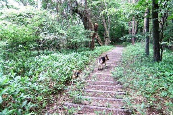 中止の滝ハイキングコースを歩くシェパードとミックス犬の後ろ姿