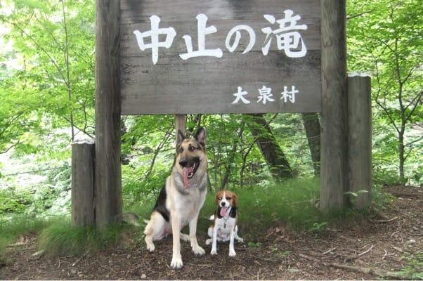 中止の滝ハイキングコースの看板の下に並んで座るシェパードとミックス犬