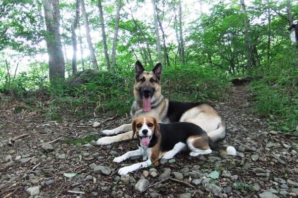 中止の滝ハイキングコースで寝そべるシェパードとミックス犬