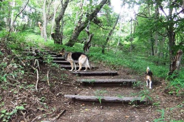 中止の滝ハイキングコースを歩くシェパードとミックス犬