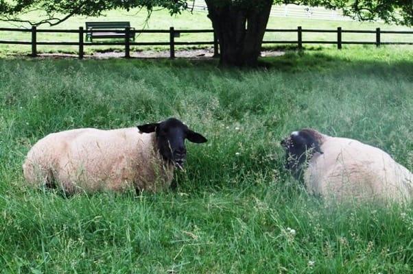 八ヶ岳牧場まきば公園の2頭の羊