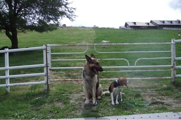 八ヶ岳牧場まきば公園で並んで座るシェパードとミックス犬