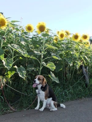 愛犬と栗原会場のひまわり