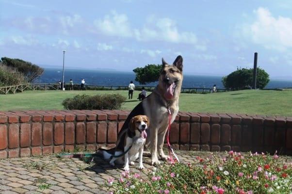 城ヶ島公園で並んで座るシェパードとミックス犬