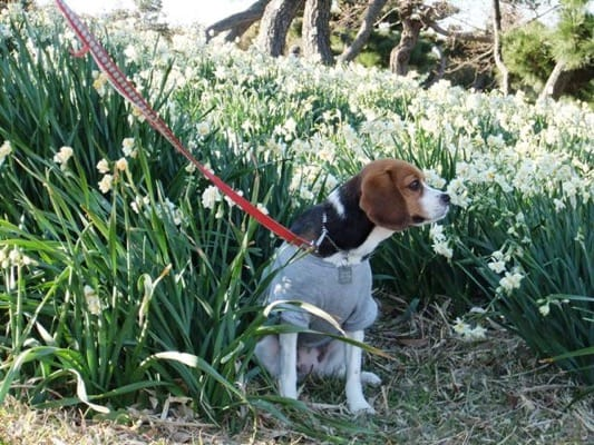 城ヶ島公園に咲くたくさんの白い花の中に座るミックス犬