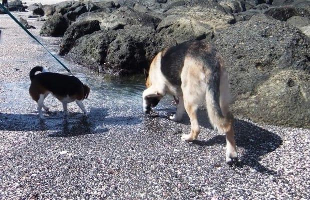 城ヶ島海岸を歩くシェパードとミックス犬