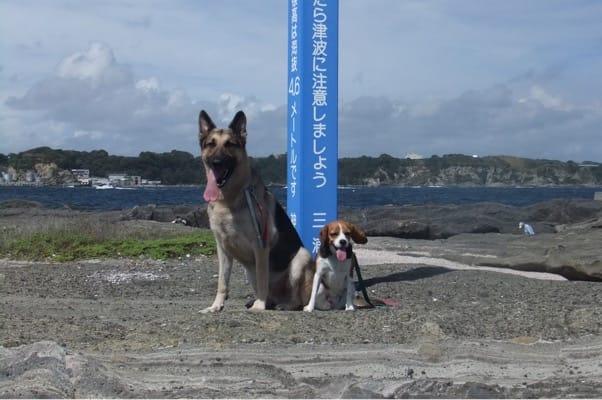 城ヶ島海岸に並んで座るシェパードとミックス犬