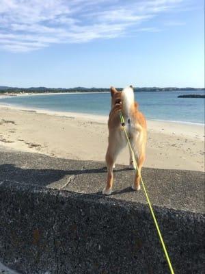 伊勢志摩の白浜の海をじっと見つめる愛犬