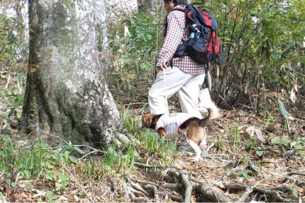 玉原高原ブナ平を歩く愛犬
