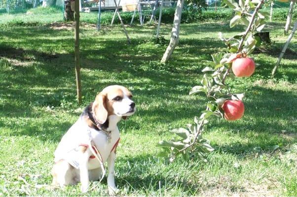 沼田のりんご園での愛犬