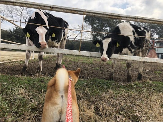 駐車場すぐの放牧場にいる牛と愛犬