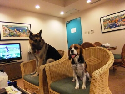 愛犬達、伊豆高原会員制ホテルの部屋にて