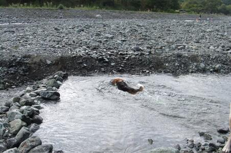 水無川で泳ぐミックス犬