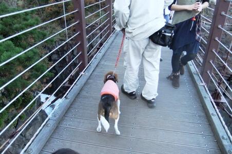 吊り橋を渡るミックス犬の後ろ姿