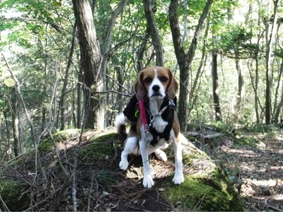 大平の森ハイキングコースで休憩中のミックス犬