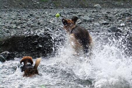 水無川ではしゃぐ愛犬達