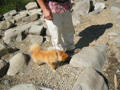 清津川での保護犬ポメラニアン