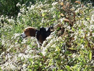 大平の森ハイキングコースを歩くミックス犬