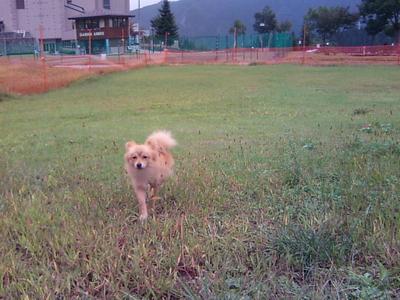 NASPAのドッグランでの保護犬ポメラニアン