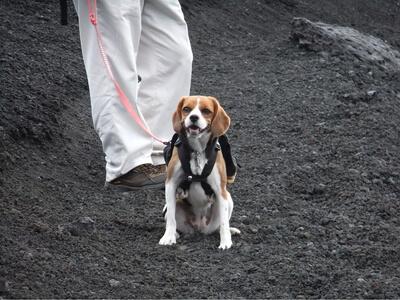 愛犬、宝永山ルートにて