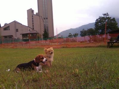 NASPAのドッグランで遊ぶミックス犬とポメラニアン
