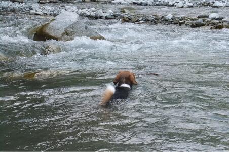 中川で泳ぐ愛犬